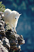 Mountain Goat (Oreamnos americanus) yearling in Logan Pass, Glacier National Park. Montana. USA