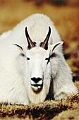 Mountain Goat (Oreamnos americanus) in Logan Pass, Glacier National Park. Montana. USA