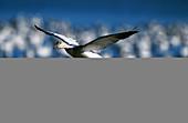 Snow Goose (Chen caerulescens), landing. Bosque del Apache National Wildlife Refuge. New Mexico. USA