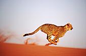 Cheetah running (Acinonyx jubatus) in captivity. Game Farm. Namibia.
