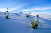 Soaptree Yucca (Yucca elata). White Sands National Monument. New Mexico, USA