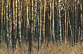 Birch grove. Sweden