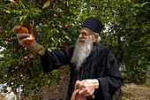 Icon painter Father Kallinikos, picking tangerines, Stravrovouni monastery, near Larnaka, South Cyprus, Cyprus