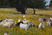 A herd of goats grazing in the middle of a flower meadow, near the Baths of Aphrodite, Akamas Nature Reserve Park, South Cyprus, Cyprus