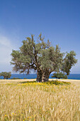Olive tree in the middle of a wheat field near the coast, near the Baths of Aphrodite, Akamas Nature Reserve Park, South Cyprus, Cyprus