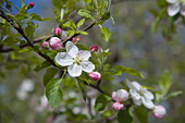 Close up of cherry blossoms, Prodromos, Troodos mountains, South Cyprus, Cyprus