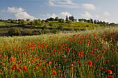 Poppy meadow in Spring near Kathikas, Laona region, Paphos area, South Cyprus, Cyprus