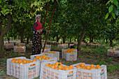 Woman picking oranges, Orange harvest, orange grove, agriculture, Güzelyurt, Morfou, North Cyprus, Cyprus