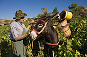 Two men picking grapes, Donkey with baskets full of grapes, Grape harvest, Vasa village, Troodos mountains, Cyprus