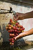 Ein Mensch wäscht Trauben in einem Brunnen, Trauben Waschen, Troodos Gebirge, Südzypern, Zypern
