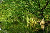 Reflection of deciduous tree in Stever river, Luedinghausen, North Rhine-Westphalia, Germany