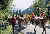 Ceremonial Cattle Drive, Bavarian Oberland, Bavaria, Germany