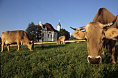 Cattle on meadow, Wies church in background, Wies, Bavaria, Germany