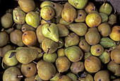 Freshly harvested pears, Altes Land, Lower Saxony, Germany
