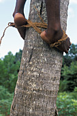 African man with his feet binded togehter in order to climb up a coconut palm, Unguja Island, Zanzibar Archipelago, Tanzania, East Africa