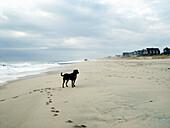 Allein, Alleine, Aussen, Außen, Ein Tier, Eins, Einzeln, einzig, Farbe, Haustier, Haustiere, Horizontal, Hund, Hunde, Küste, Landschaft, Landschaften, Meer, Natur, Säugetier, Säugetiere, Strand, Strände, Tageszeit, Tier, Tiere, Ufer, Verlassen, K92-24627