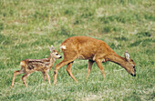 Roe Deer (Capreolus capreolus). Germany