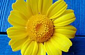 Botany, Close up, Close-up, Closeup, Color, Colour, Delicate, Ephemeral, Flower, Flowers, Horizontal, Horticulture, Nature, Petal, Petals, Plant, Plants, Symbol, Symbols, Yellow, K98-245316, agefotostock