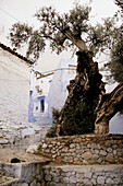 Olive tree and typical street in Chefchaouen, Morocco.