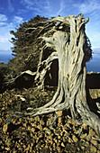 Thousand-year-old Sabina (Juniperus turbinata ssp. canariensis). La Dehesa. Ferro Island (El Hierro). Canary Islands. Spain