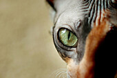 Eye of a female adult Cornish Rex show cat gold green and a Calicl