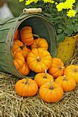 Small mini pumpkins on display at apple festival in north Georgia in Fall