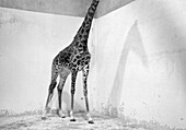 Animal, Animals, B&W, Black-and-White, Captive, Captivity, Corner, Corners, Dream, Fauna, Giraffe, Giraffes, Headless, Height, Horizontal, Mammal, Mammals, Monochromatic, Monochrome, Nature, Odd, One, One animal, Shadow, Shadows, Single, Strange, Tall, W