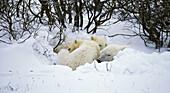 Polar bear family (Ursus maritimus) sleeping in temporary day bed