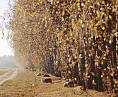Birch grove with country road