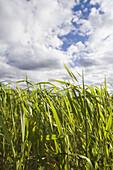 Cereal fields. Valle de Alcala. Valencia, Comunidad Valenciana, Spain