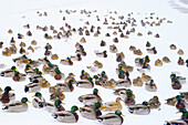 Mallard ducks gathering during snow storm