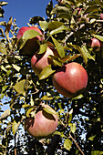 Apples in orchard ready for harvesting. Port Huron, Michigan, USA