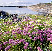 Allium schoenoprasum. Viskären. Småland. Sweden