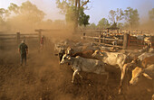 Cattle muster, cattle drive on Wrotham Park Station, Cape York Peninsula, Queensland, Australia