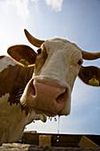 Close up of cow having a drink of water, Hohe Zwieselalm, Tennengebirge, Gosau, Upper Austria, Austria