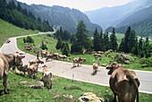 Cows grazing on the mountain pass, Lukamierpass, Ticino, Switzerland