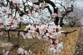 Almond Tree Blossoms, Near Cabo Blanco, Mallorca, Balearic Islands, Spain
