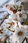 Almond Tree Blossoms, Near Randa, Mallorca, Balearic Islands, Spain