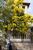 Yellow Flowering Tree, Valldemossa, Mallorca, Balearic Islands, Spain