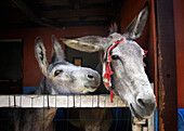 Affection, Animal, Animals, Barn, Barns, Color, Colour, Country, Countryside, Daytime, Donkey, Donkeys, Draft animal, Draft animals, Exterior, Farm animals, Farming, Fondness, Head, Heads, Horizontal, Livestock, Looking at camera, Mammal, Mammals, Mule, M