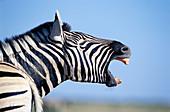 Burchells Zebra (Equus burchelli). Etosha National Park. Namibia