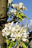 Almond tree flower (Prunus dulcis or P. Communis)