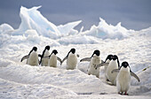 Adelie Penguin (Pygoscelis adeliae), commuters travelling down well worn pathways. Franklin Island, Ross Sea, Antarctica