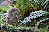 Great Spotted Kiwi (Apteryx haastii). Male in captivity foraging in a rainforest habitat. Otorohanga, New Zeland