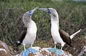 Blue-footed Boobies (Sula nebouxii excisa). Courtship dance. Seymour Island. Galapagos, Ecuador