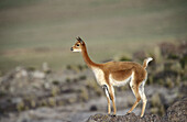Vicuña (Lama Vicugna). Alert male surveying territory. National Reserve of Pampa Galeras. Peruvian Andes