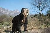Captive Spectacled Bear (Tremarctos ornatus), old male in dry forest natural habitat. Rehabilitation centre in arid Andean foothills, Cerro Chaparri. Peru