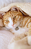 Animal, Animals, Blanket, Blankets, Cat, Cats, Color, Colour, Contemporary, Couch, Couches, Cute, Domestic cat, Domestic cats, Facing camera, Feline, Felines, Felis catus, Indoor, Indoors, Inside, Interior, Kitten, Kitty, Lean, Leaning, Looking at camera,