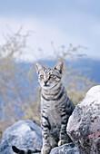 Domestic cat (Felis catus). Santorin. Greece