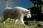 Rocky Mountain Goat (Oreamnos americanus). Glacier National Park. Montana. USA